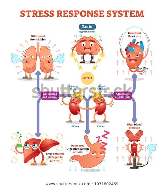 stress response system chart