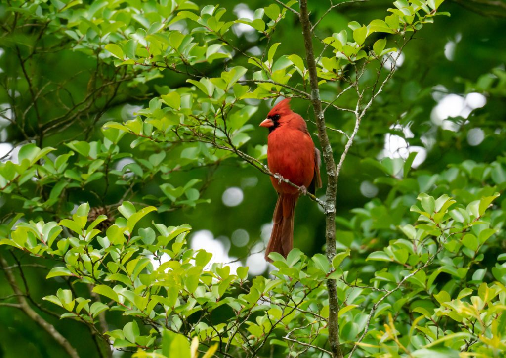 cardinal bird in Georgia