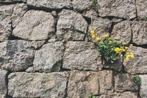 dandelions in cracks of stone