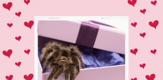 tarantula in a gift box on a pink and red heart background