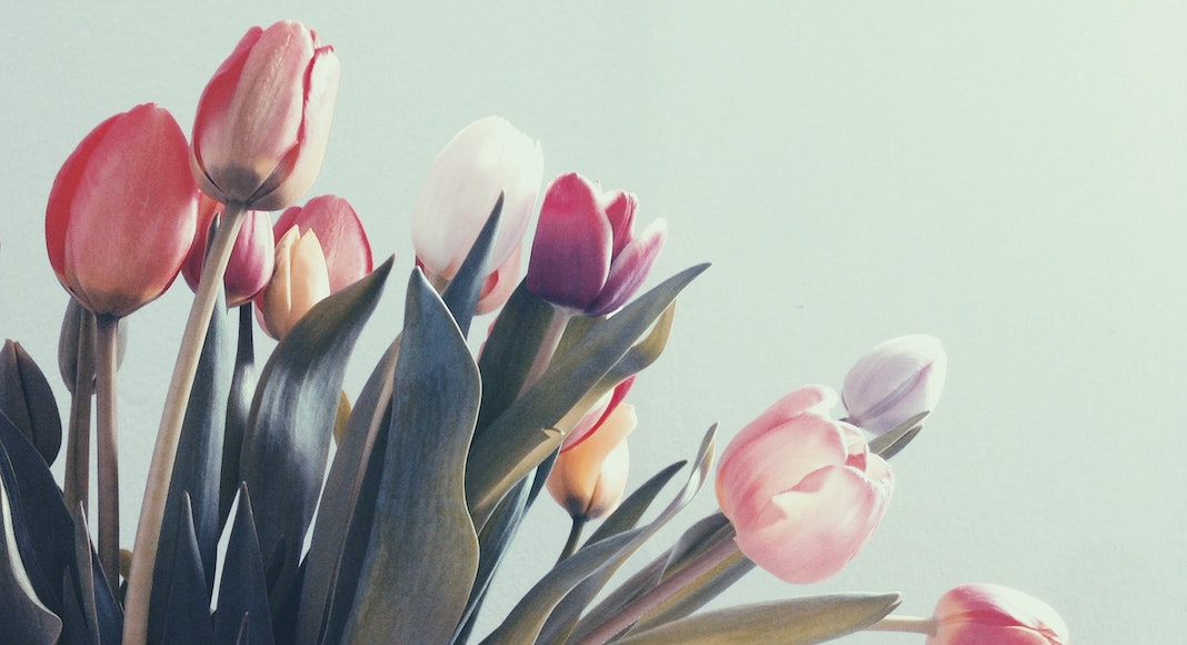 tulips in varying shades of pink