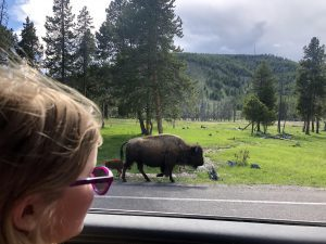 girl watches a bison from the window of a car